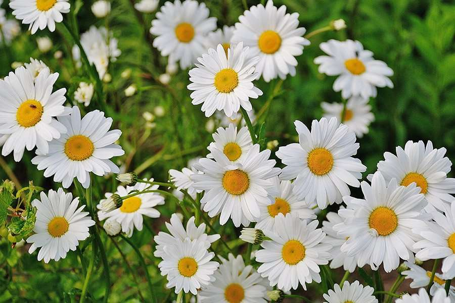 Young women in Russia sometimes use daisies to tell the future